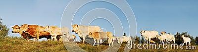 Cows panorama