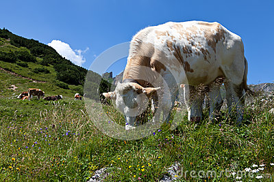 Cows on pasture in the Alps, Austria