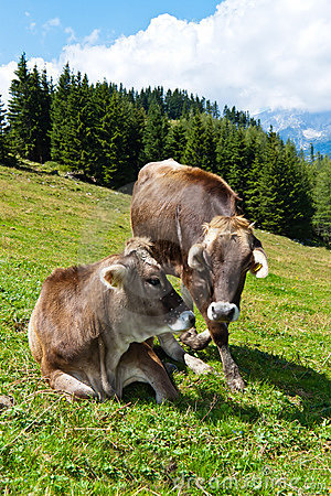 Cows in a pasture on the mountain