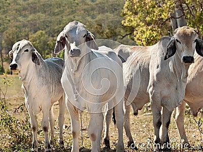 Cows on ranch Australian beef cattle meat industry