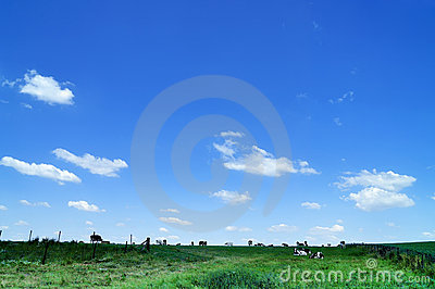 Cows On Range Land