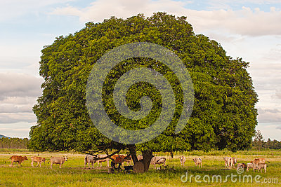 Cows rest beside tree