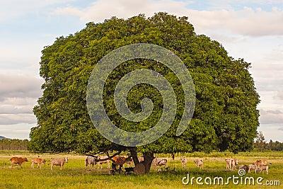 Cows rest beside tree