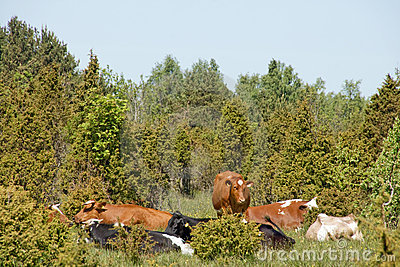 Cows resting by Juniper trees