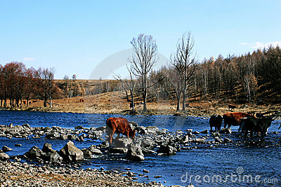 Cows and the river