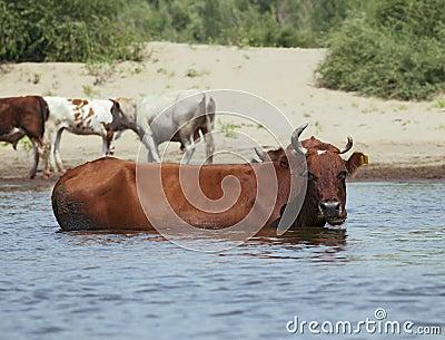 Cows at a riverbank