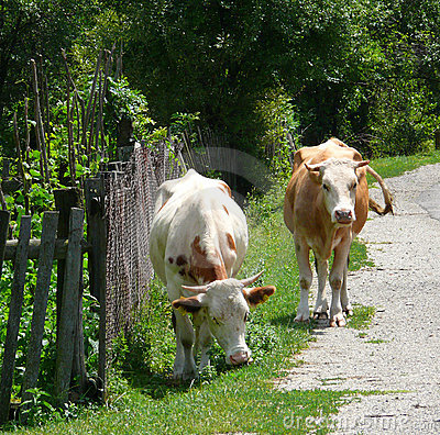 Cows at road side