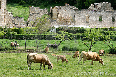 Cows and ruins in Irantzu, Spain