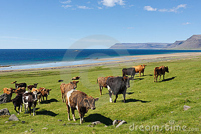 Cows By The Sea