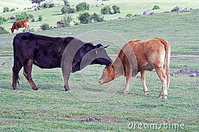 Cows Secrets