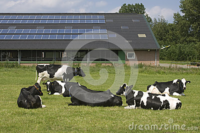 Cows and solar panels on a farm, Netherlands