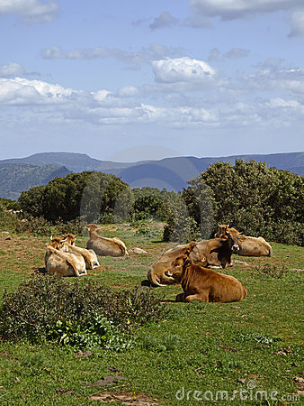 Cows in the southeast of Sardinia