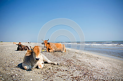 Cows sunbathing