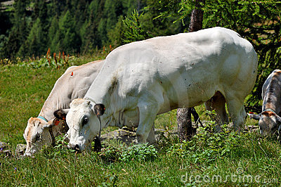 Cows to pasture