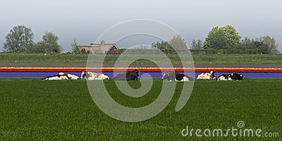 Cows and tulips