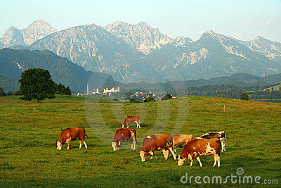 Cows under the Alps