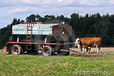 Cows and water tank