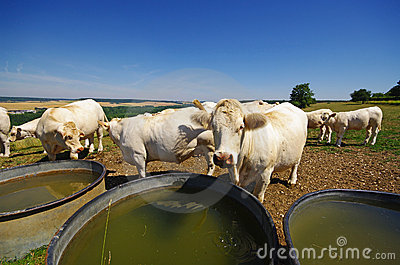Cows and watering place in french country