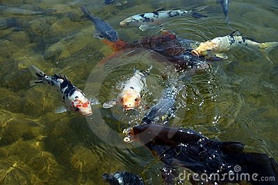Coy Fish-3