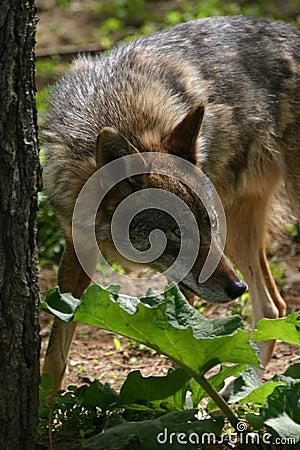 Free Coyote Stock Image - 1263951