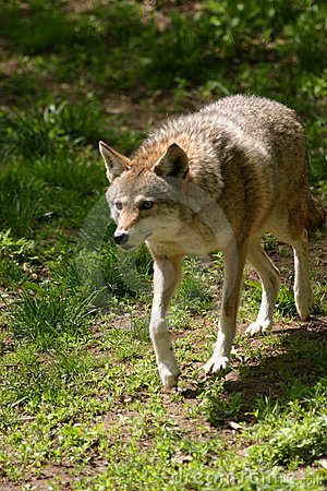 Free Coyote Stock Images - 1267904