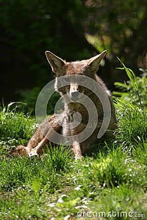 Free Coyote Stock Photos - 1267943