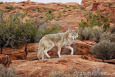 Coyote Royalty Free Stock Photography - Image: 4074487