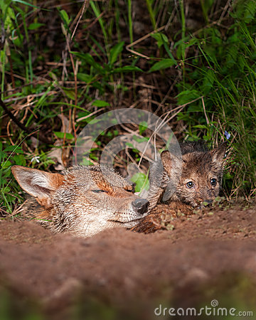 Free Coyote (Canis Latrans) And Pup Peek Out Of Den Stock Photos - 47254263