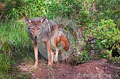 Coyote (Canis latrans) Climbs Out of Den