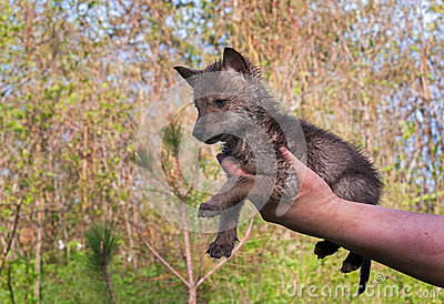 Coyote (Canis latrans) Pup Held in Hand