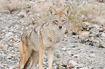 Coyote in the desert.