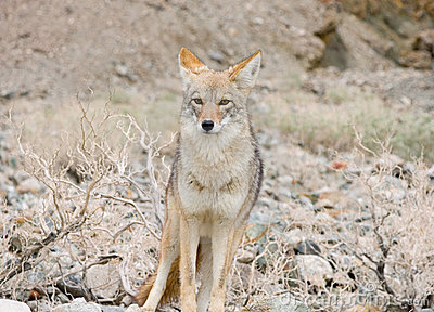 Coyote in the desert.