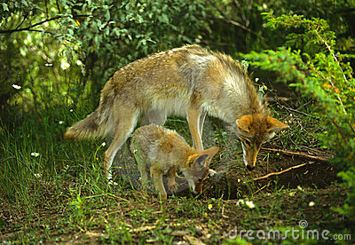 Coyote Female and Pup