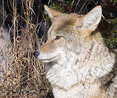 Coyote hunting in Yellowstone National