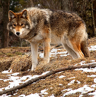 Free Coyote Looking At The Camera Stock Photos - 2223503