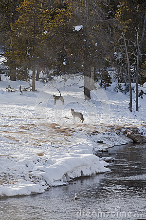 Coyote near Elk Kill, Firehole River