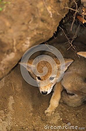 Coyote Pup in Den