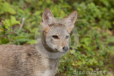 Coyote Puppy Close up