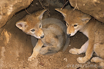 Coyote Pups in Den