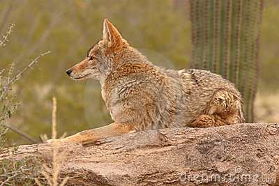 Coyote Resting On Desert Rock