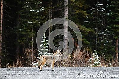 Coyote selvaggio