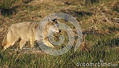 Coyote stalk