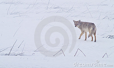 Coyote of the West Plains 1