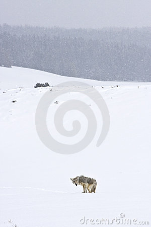 Coyote in Wintry landscape