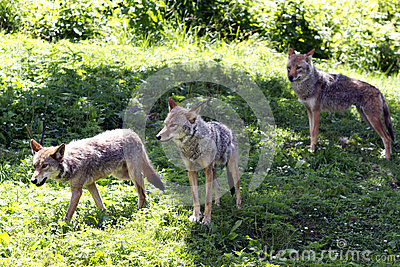 Coyotes Stock Photo - Image: 42730360