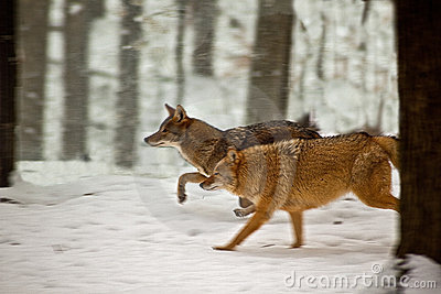 Coyotes running in snow