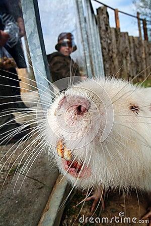 Coypu beaver rodent