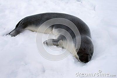 Cría de foca encapuchada