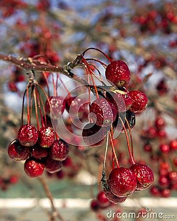 Crab apple fruit in winter