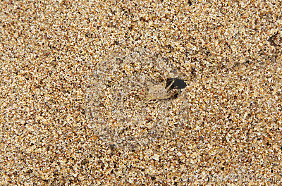 A crab camouflaged with the same color of sand